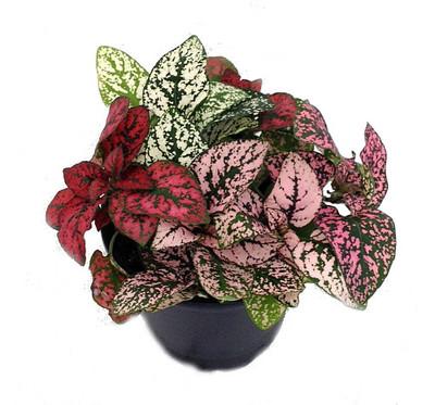 "Tricolor Polka Dot Plant - Hypoestes - 3.5"" Pot - Colorful House Plant"