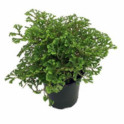 """Avatar Spike Moss - Selaginella - Houseplant/Terrarium - 4"""" Pot"""