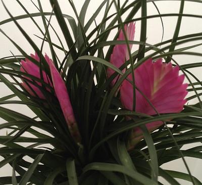 """Hawaiian Pink Quill Plants - Exotic & Easy - Tillandsia - 6"""" Pot"""