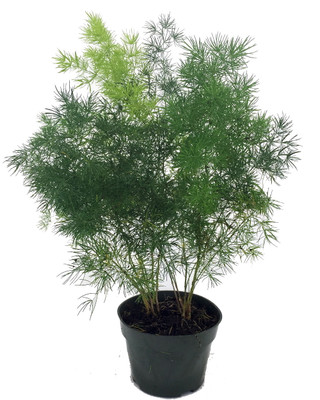"""Chinese Ming Fern - Asparagus macowanii - 6"""" Pot- Easy to Grow- Great Houseplant"""
