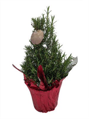 "Holiday Rosemary Tree - 6"" Pot with Decorative Pot Cover/Gift Tag"