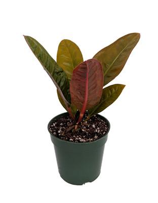 "Bird's Nest Anthurium superbum - Easy to Grow - 4"" Pot - Collector's Series"
