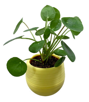 """Chinese Money Plant - Pilea peperomioides in 3"""" Yellow Self Watering Plant Pod"""