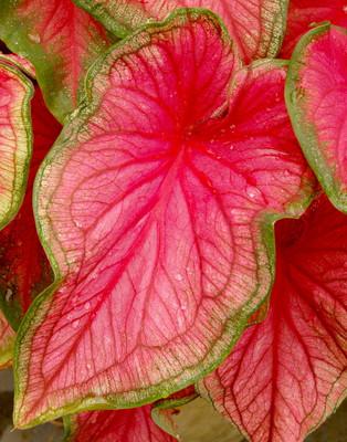 Sweetheart Caladium 3 Bulbs - Pink & Green Foliage