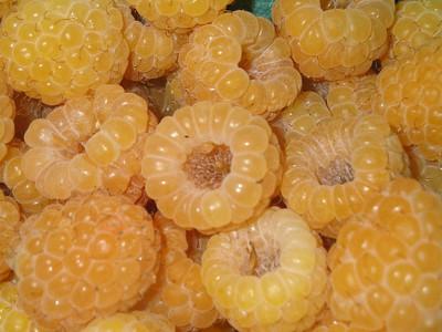 "Fall Gold Everbearing Raspberry Plant - 2.5"" Pot"