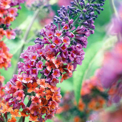 "Bi-Color Butterfly Bush - Buddleia - 4"" Pot"