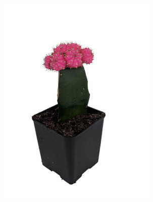 """Pink Grafted Moon Cactus - Easy to Grow - 2.5"""" Pot - Live Plant"""