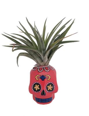 "Red Sugar Skull Planter with Live Tillandsia Air Plant - 3"" x 3"""