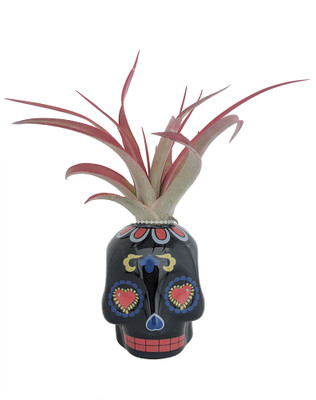 "Black Sugar Skull Planter with Live Tillandsia Air Plant - 3"" x 3"""
