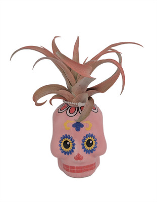 "Pink Sugar Skull Planter with Live Tillandsia Air Plant - 3"" x 3"""
