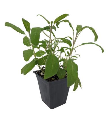 "Garden Sage - Kitchen Sage - Dalmatian Sage - Salvia officinalis - 3"" Pot"