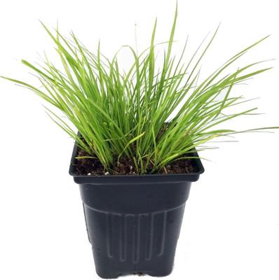 """Golden Dwarf Sweet Flag Plant - Acorus -Terrarium/FairyGarden/Rockgarden 3"""" Pot"""