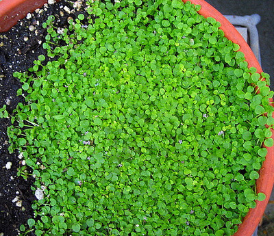 """Corsican Mint Herb Plant - Mentha requienii - Live Plant -2.5"""" Pot"""