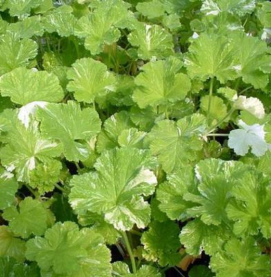Snowflake Scented Leaf Geranium - Citronella Mosquito Plant - Quart Pot