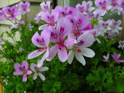 Sweet Mimosa Scented Leaf Geranium - Sweet Fragrance - Inside/Out - Quart Pot