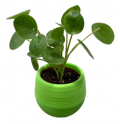 """Chinese Money Plant - Pilea peperomioides in 3"""" Green Self Watering Pot"""