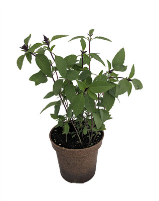 "Organic Thai Basil - Dark Purple Flowers - 4.5"" Biodegradable Pot"