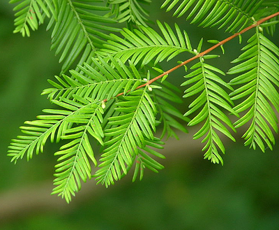 Dawn Redwood Tree - Metasequoia - Outside or Bonsai - Quart Pot