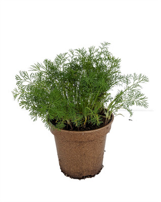 "Organic Dill Herb - 4.5"" Biodegradable Pot"