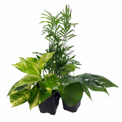 "Low Light House Plant Collection - Parlor Palm/Philodendron/Devil's Ivy -3"" Pots"