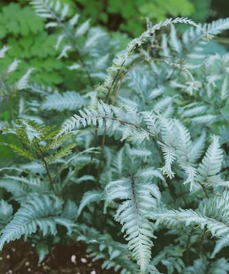 """Applecourt Fern - Burgundy, Gray, Green Hues - 4"""" Pot"""