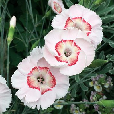Georgia Peach Pie Dianthus - Garden Pinks - Very Fragrant - Quart Pot
