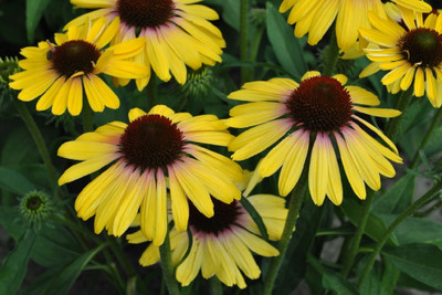 """Butterfly™ Yellow Rainbow Marcella Coneflower - Echinacea - Fragrant - 3"""" Pot"""