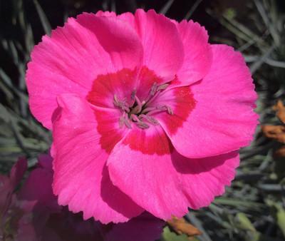 Bumbleberry Pie Dianthus - Vivid Red and Pink Color - Quart Pot