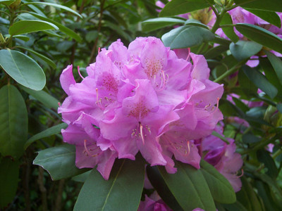 """English Roseum Rhododendron - Classic Pink - 4"""" Pot"""