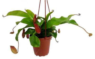 """Asian Pitcher Plant - Nepenthes - Carnivorous - Exotic - 4"""" Mini Hanging Pot"""