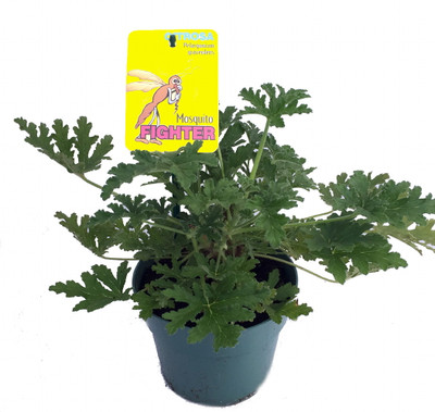 "Citronella Mosquito Plant - West Nile Virus - 6"" Pot - Pelargonium graveolens"