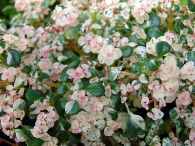 "Confetti Fern - Pilea microphlla - Terrarium/Fairy Garden/House Plant - 2.5"" Pot"