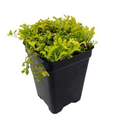 """Golden Spikemoss - Selaginella kraussiana aurea-Terrarium/Fairy Garden- 2.5"""" Pot"""