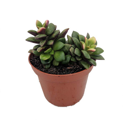 "Lost Love Succulent Plant - Anacampseros rufescens variegata - 2"" Pot"