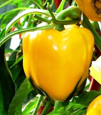 """Golden California Wonder Pepper - 3.5"""" Pot"""