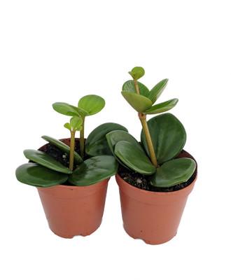 "Hope Peperomia - Easy to Grow Houseplant - 2"" Pots/2 Pack"