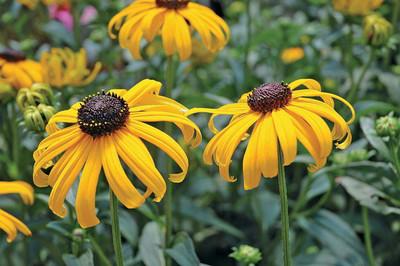 Early Bird Gold Black-Eyed Susan - Rudbeckia - Live Plant -Gallon Pot