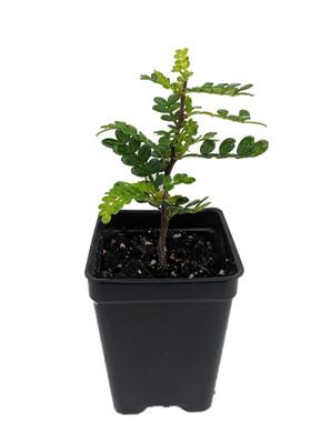"Yellowwood / Pepper Tree Plant - 2.5"" Pot - Terrarium/Fairy Garden/House Plant"