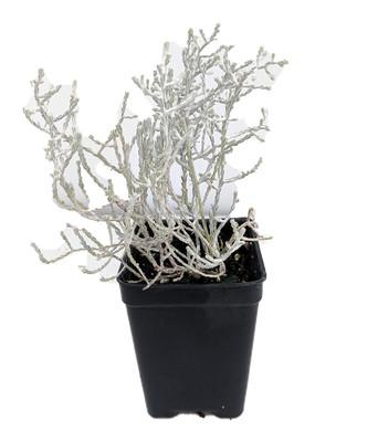 """Cushion Bush - Leucophyta brownii- 2.5"""" Pot - Terrarium/Fairy Garden/House Plant"""