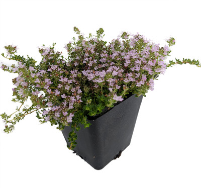 "Fairy Elfin Thyme Plant - World's Smallest Thyme - 2.5"" Pot - Fairy Garden"