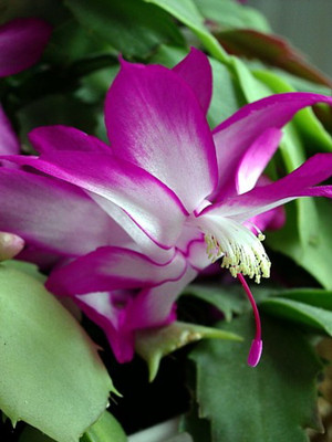 "Cyber Dancer Fuchsia Pink Christmas Cactus Plant - Zygocactus - 2"" Pot"