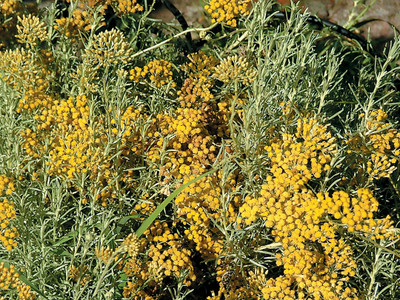 "Curry Herb Live Plant - Helichrysum angustifolium - 4"" Pot"