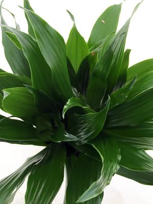 "Janet Craig Dragon Tree - Dracaena fragrans - 4"" Pot - Easy to Grow"