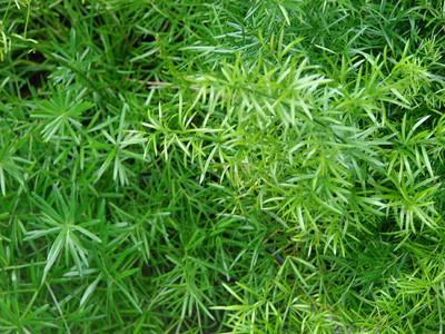 """Asparagus Sprengeri Fern - Asparagus - 6"""" Pot - Easy to Grow"""