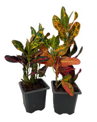 "Batik Croton - 2 Pack 3"" Pots - Colorful House Plant - Easy to Grow"
