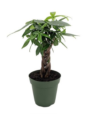"Braided Money Tree Plant - Pachira aquatica - 5"" Pot - Easy to Grow"