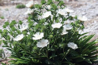 Divinity Stokes Aster Perennial - Stokesia - Snowy White Blooms - Gallon Pot