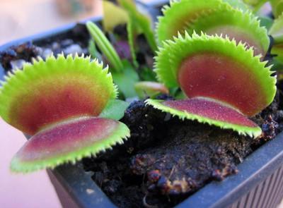 """Dente Venus FlyTrap Plant - Dionaea - Carnivorous - 2""""  Pot"""