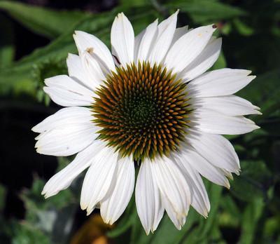 Pow Wow White Coneflower - Echinacea - Live Plant - Quart Pot