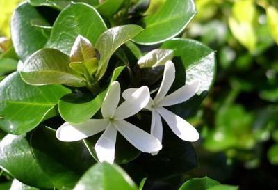 "Boxwood Beauty Natal Plum Tree - Carissa macrocarpa - House Plant/Bonsai -4"" Pot"